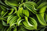 Lush green leaves - CUF46896