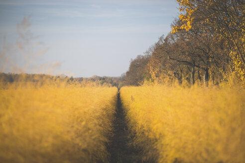 Asparagus field in autumn - ASCF00944