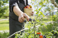 Farm-to-table chef harvesting ripe tomatoes in sunny vegetable garden - HEROF04890