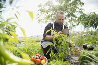 Farm-to-table chef with digital tablet harvesting ripe tomatoes in vegetable garden - HEROF04893