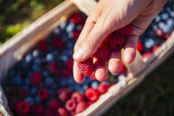 Woman's hand holding picked raspberries, close-up - DIGF05605
