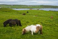 United Kingdom, Scotland, Shetland Islands, Shetland ponies - RUNF00988