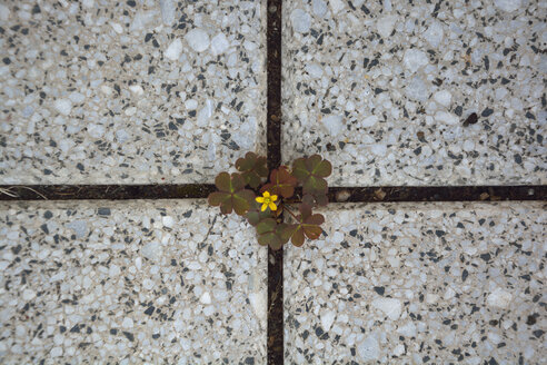 Blossoming clover amidst slabs - AXF00812