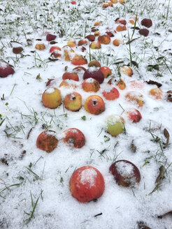 Snow on apples - JTF01159