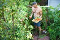 Man picking tomatoes with basket - CUF47411