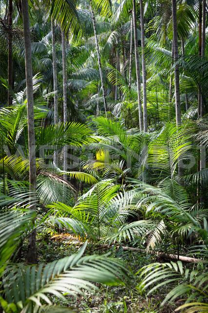 Euterpe oleracea (açai), Ilha do Combu, Amazon, Belem do Pará, Para, Brazil - CUF47633