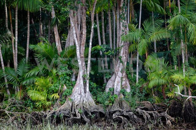 Euterpe oleracea (açai), Igarapé, Amazon, Belem do Pará, Para, Brazil - CUF47636