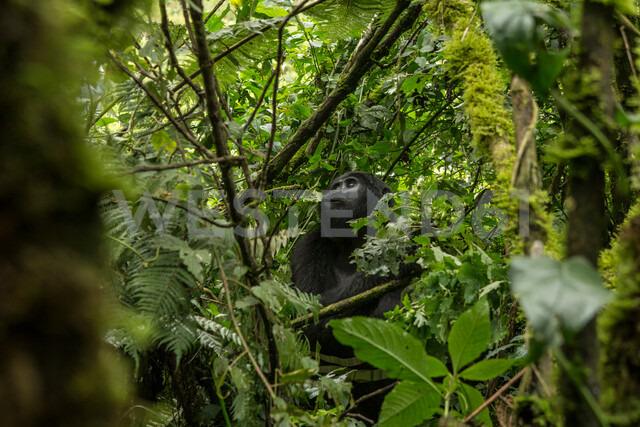 Mountain Gorilla (Gorilla beringei beringei), Bwindi Impenetrable Forest, Bwindi Mountains, Uganda - CUF47639