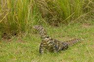 Nile Monitor Lizard (Varanus niloticus), Lizard, Murchison Falls National Park, Uganda - CUF47648