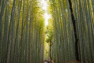 Bamboo grove in Arashiyama in western Kyoto, Japan - ASTF02131