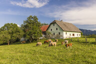 Austria, Carinthia, old farm house and cows on pastue - AIF00573
