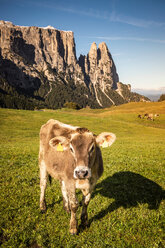 Lone cow, Schlern-Rosengarten on Seiser Alm, Dolomites, Siusi, Trentino-Alto Adige, Italy - CUF48297