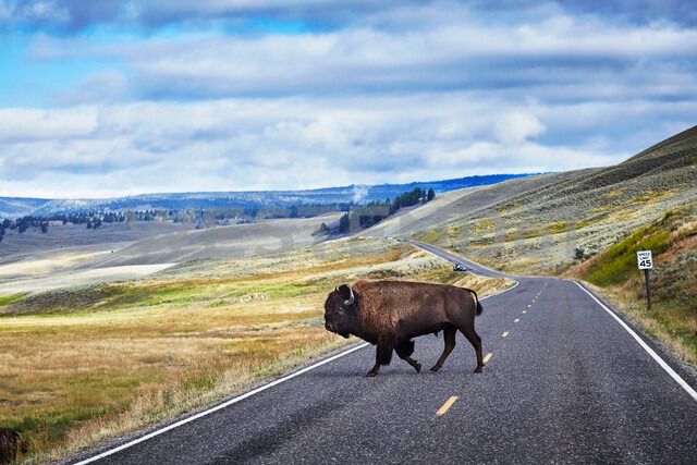 Bison crossing road, Yellowstone National Park, Canyon Village, Wyoming, USA - ISF20165