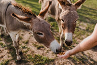 Donkeys being fed - ISF20246