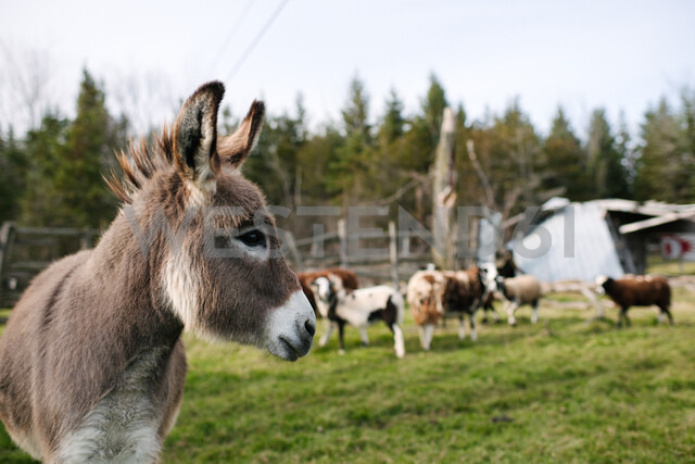 Donkey in farm, cows in background - ISF20324