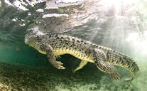 American saltwater crocodile, Xcalak, Quintana Roo, Mexico - ISF20453