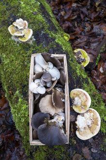 Germany, Bavaria, splint basket with collected Oyster Mushrooms in autumn - NDF00856