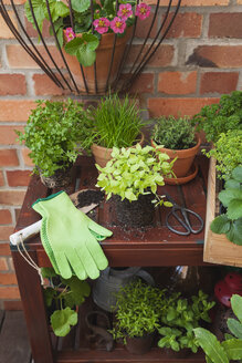 Gardening, herb garden, gardening tools, secateurs and gloves, pots on planting table, kleinblättriges Basilikum (Ocimum basilicum), chive (Allium schoenoprasum),Thyme, glatte Petersilie (parsley, Petorselinum crispum), strawberries (Fragaria), Zitronen-Thymian (lemon-scented thyme, Thymus × citriodorus), Gewürztagetes (Tagetes tenuifolia), krause Petersilie (parsley, Petroselinum crispum), Wasabino (Brassica juncea), Salvia, Echter Lorbeer (Küchenlorbeer, Laurus nobilis), fig tree (Ficus carica), Marokkani - GWF05789