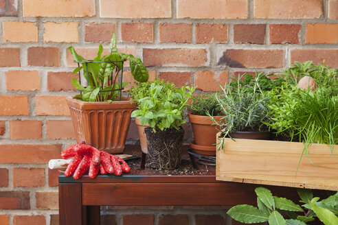 Gardening, herb garden, gardening tools, secateurs and gloves, pots on planting table, Marokkanische Minze (Nanaminze, Mentha), Mangold (Beta vulgaris), chive (Allium schoenoprasum), Thyme, Zitronen-Thymian (lemon-scented thyme, Thymus × citriodorus), krause Petersilie (parsley, Petroselinum crispum), Rosmary (Rosmarinus officinalis), Echter Lorbeer (Küchenlorbeer, Laurus nobilis), Bohnenkraut (summer savory, Satureja), Salvia - GWF05792