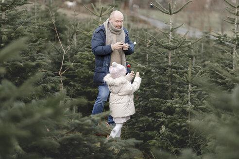 Arnsberg, NRW, Deutschland. Ein Vater mit der Tochter schmücken einen Weihnachtsbaum auf der Weihnachtsbaum-Plantage - KMKF00726