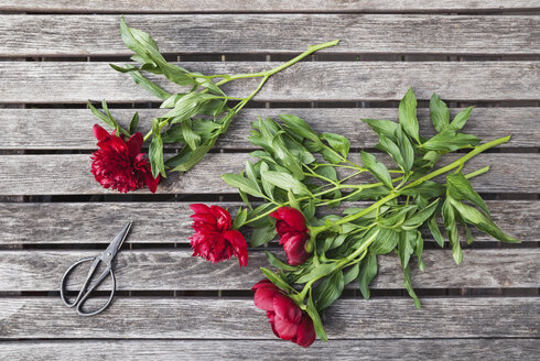 Red Peonies and scissors on garden table - GWF05795