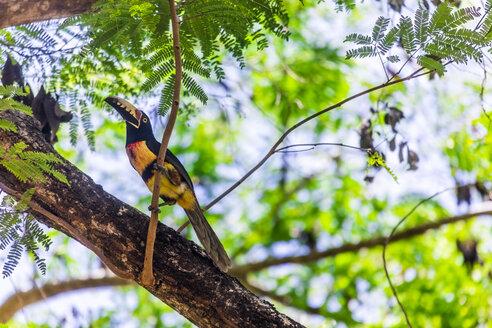 Mexico, Yucatán, Quintana Roo, Tulum, ein Tukan sitzt in einem Baum - MMAF00785