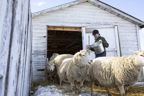 Female farmer tending to sheep outside barn - HEROF07394
