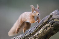 Jumping Eurasian red squirrel - MJOF01661