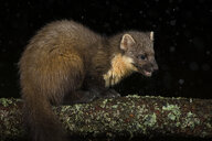 Pine marten on branch against black background - MJOF01664