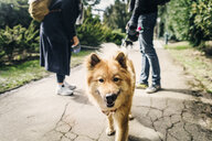 Portrait of Eurasier with young couple standing on footpath at park - ASTF02664