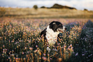 Dog on field covered by flowering plants - ASTF02796