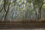 Bamboo Forest, the Arashiyama Bamboo Grove or Sagano Bamboo Forest, a natural forest of bamboo in Arashiyama, Kyoto, Japan. - MINF10087