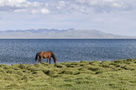 Horse grazing near a lake in Song kul, Kyrgyzstan. - MINF10096