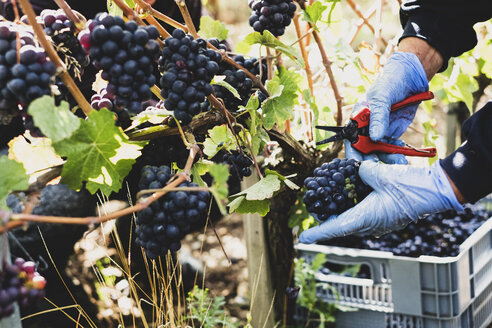 Close up of person wearing rubber gloves and holding secateurs harvesting bunches of black grapes in a vineyard. - MINF10150