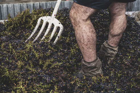 Close up of man with pitchfork standing in a vat of black grapes. - MINF10162