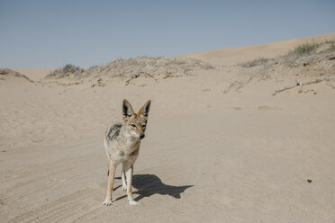 Namibia, Walvis Bay, jackal in Namib-Naukluft National Park - LHPF00443