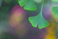 Ginkgo leaves, close-up - MMAF00791