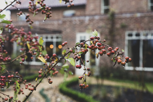 Close up of branch of red crab apple tree with rain drops. - MINF10239