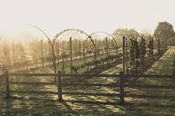 View along apple trees in an orchard in autumn. - MINF10335