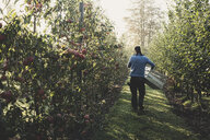 Rear view of man walking in apple orchard, carrying wooden crates. Apple harvest in autumn. - MINF10341