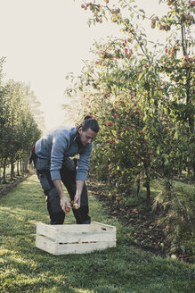 Man standing in apple orchard, picking apples from tree. Apple harvest in autumn. - MINF10344