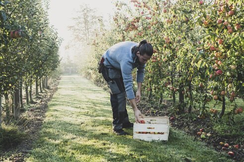 Man standing in apple orchard, picking apples from tree. Apple harvest in autumn. - MINF10347
