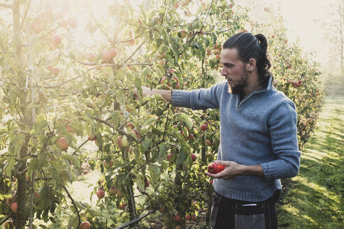 Man standing in apple orchard, picking apples from tree. Apple harvest in autumn. - MINF10350