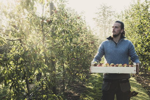 Man standing in apple orchard, holding crate with apples. Apple harvest in autumn. - MINF10356