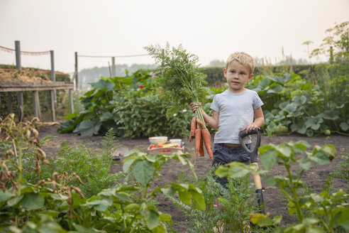 Portrait boy harvesting fresh carrots in rural vegetable garden - HEROF10794