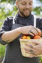 Tattooed farm-to-table chef harvesting ripe heirloom tomatoes in bushel - HEROF12987