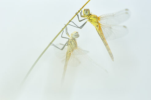 Dragonfly pair hanging at blade of grass - DSGF01791