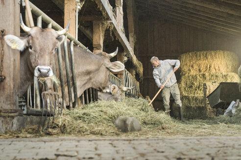 farmer feeding his cows in traditional farm cowshed, Allgäu, Germany - SBOF01688