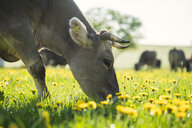 Cow grazing on a meadow with dandelions - SBOF01694