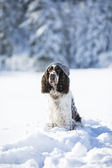 English Springer Spaniel with woolly hat sitting on snow-covered meadow - MAEF12785